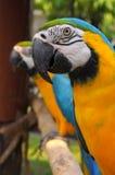 Blauw-en-gouden Ara Royalty-vrije Stock Foto's