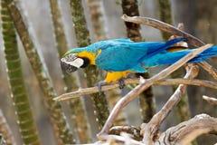 Blauw-en-gouden ara in aard het omringen Stock Foto