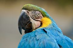 Blauw-en-gouden Ara, die terug over schouder kijken royalty-vrije stock foto