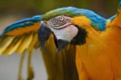 Blauw-en-gouden Ara squawk stock foto's