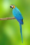 Blauw en Gouden Aravogelhuis Stock Afbeelding
