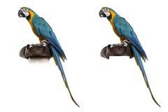 Blauw-en-gouden die Ara op wit wordt geïsoleerd Stock Foto