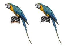 Blauw-en-gouden die Ara op wit wordt geïsoleerd Royalty-vrije Stock Afbeelding