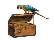 Blauw-en-gouden die Ara op wit wordt geïsoleerd Stock Afbeelding