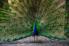 Blauw en groene pauw stock afbeelding