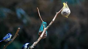 Blauw en koolmees die het zaad van de de wintervogel eten stock videobeelden