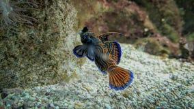 Blauw en sinaasappel het gekleurde vissen zwemmen royalty-vrije stock foto's