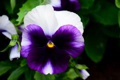 Blauw en wit en purper viooltje met een geel stuifmeel Stock Afbeelding