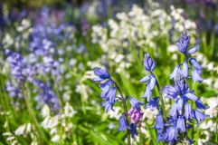 Blauw en Wit Hyacinth Flowers Stock Foto