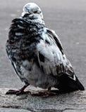 Blauw-en-witte duif Royalty-vrije Stock Fotografie