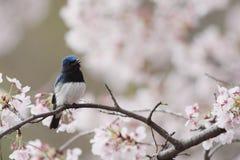 Blauw-en-witte Vliegenvanger Stock Foto's