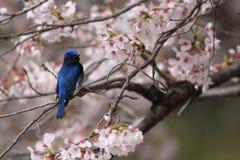 Blauw-en-witte Vliegenvanger Stock Afbeeldingen