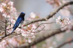 Blauw-en-witte Vliegenvanger Royalty-vrije Stock Foto
