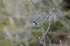 Blauw-en-witte Vliegenvanger Royalty-vrije Stock Afbeelding