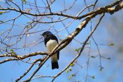 Blauw-en-witte Vliegenvanger Royalty-vrije Stock Foto's