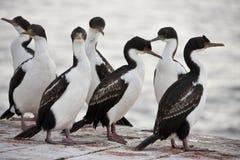 Blauw-eyed Aalscholver - Falkland Eilanden Stock Fotografie