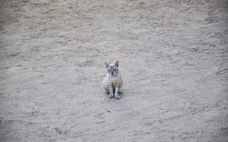 Blauw-eyed kat op een zandig strand Stock Foto