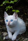 Blauw Eyed Katje Royalty-vrije Stock Afbeeldingen