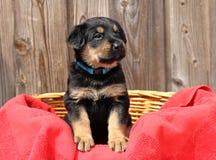 Blauw Eyed Puppy Stock Foto's