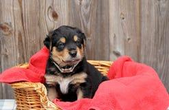 Blauw Eyed Puppy Royalty-vrije Stock Fotografie