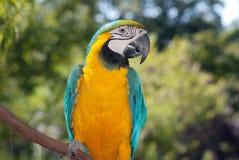 Blauw-gele Ara Stock Foto