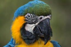 Blauw-gele aronskelken stock afbeeldingen