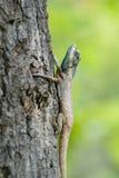Blauw-geleide hagedis die een boom beklimmen Stock Afbeeldingen