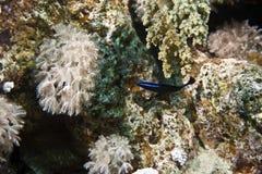 Blauw-gestreept dottyback (pseudochromisspringeri) stock afbeeldingen