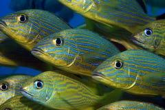 Blauw gestreept gegrom royalty-vrije stock fotografie