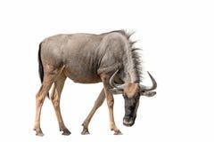 Blauw Getijgerd die GNU van Wildebeest op witte achtergrond wordt geïsoleerd royalty-vrije stock foto