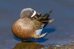 Blauw-gevleugelde Wintertaling Royalty-vrije Stock Foto