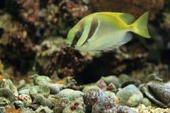 Blauw-gevoerd rabbitfish Stock Foto's