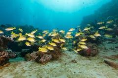Blauw-gevoerde snappers in het Rode Overzees stock foto