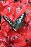 Blauw Glazig Tiger Butterfly op Hibiscus stock afbeelding