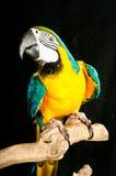 Blauw-gouden ara recued papegaai Stock Afbeeldingen