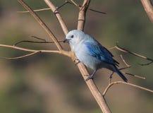 Blauw-grijze Tanager Stock Afbeelding