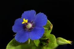Blauw Guichelheil Stock Foto's