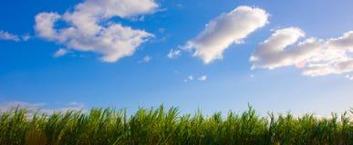 Blauw Hemel en Suikerriet Royalty-vrije Stock Afbeeldingen
