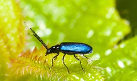 Blauw Insect Royalty-vrije Stock Foto