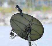 Blauw Jay On Antenna Royalty-vrije Stock Foto