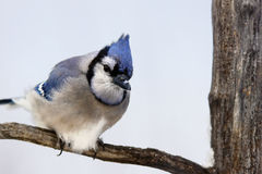 Blauw Jay On Branch Stock Foto