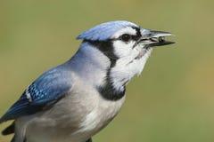 Blauw Jay Eating On een Voeder stock fotografie