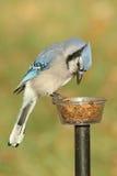 Blauw Jay Eating On een Voeder royalty-vrije stock foto