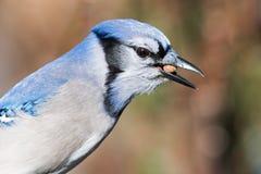Blauw Jay Eating Peanut Royalty-vrije Stock Foto