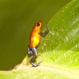 Blauw Jean Frog Stock Afbeelding