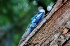 Blauw kameleon Stock Afbeeldingen