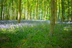 Blauw klokhout in de lente Stock Afbeelding