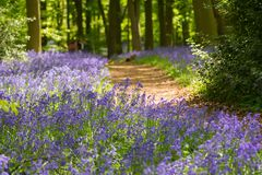 Blauw klokhout in de lente stock fotografie
