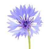 Blauw Korenbloemclose-up op Witte Achtergrond Royalty-vrije Stock Foto's