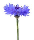 Blauw korenbloemhoofd stock afbeeldingen